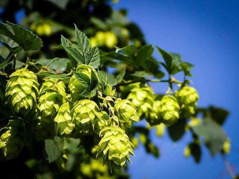 Cascade Hops Guide
